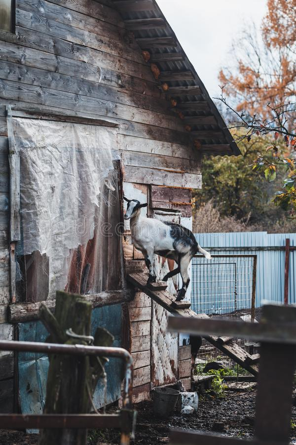 A gray-white alpine goat on a backyard walk. Domestic Alpine goat on the stairs. royalty free stock photo