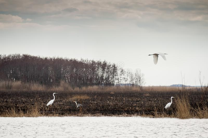 Gray and white birds of a heron in the wild after a fire on the river.Dnieper River Delta. National park. stock image