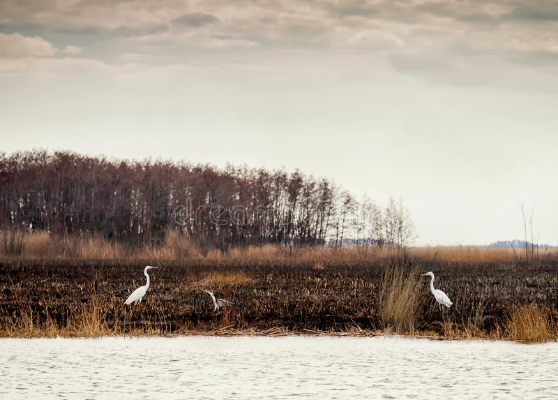 Gray and white birds of a heron in the wild after a fire on the river.Dnieper River Delta. National park. Selective soft focus stock photo