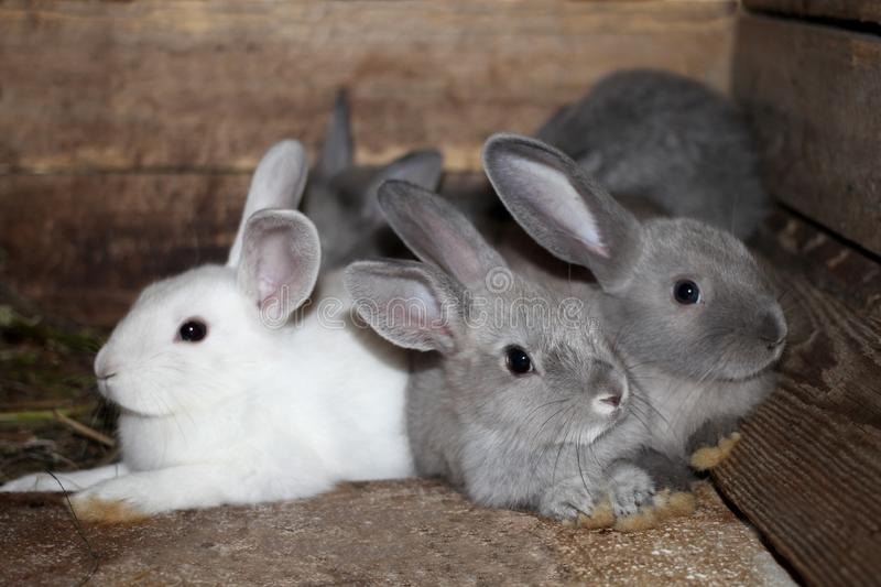 Gray white black rabbits in a cage on the farm live. Gray white black rabbits in a cage on a farm live rabbit one looks right stock photo