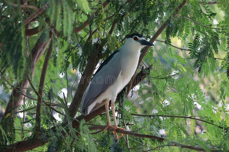 A gray and white and blue bird, Night Heron & x28;Taiwan& x29;, standing on a branch, a bird in the green leaves - Image stock images