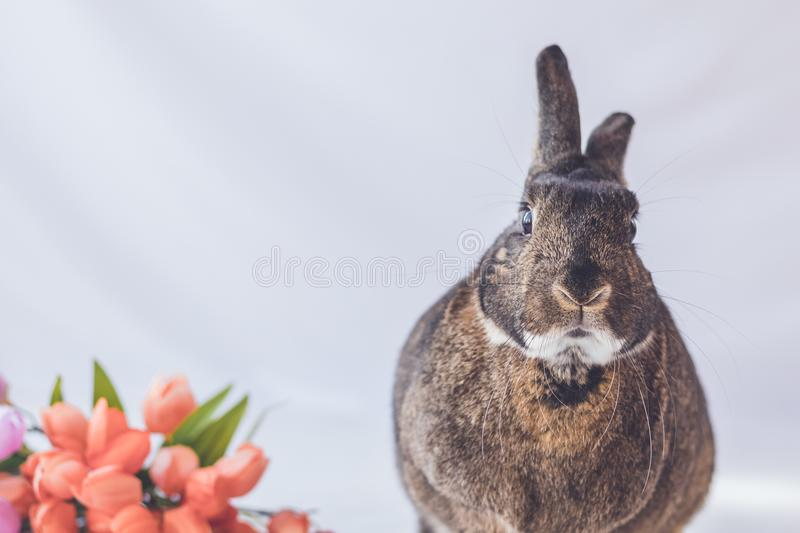 Gray and white bunny rabbit against soft background and tulip flowers in vintage setting stock photo