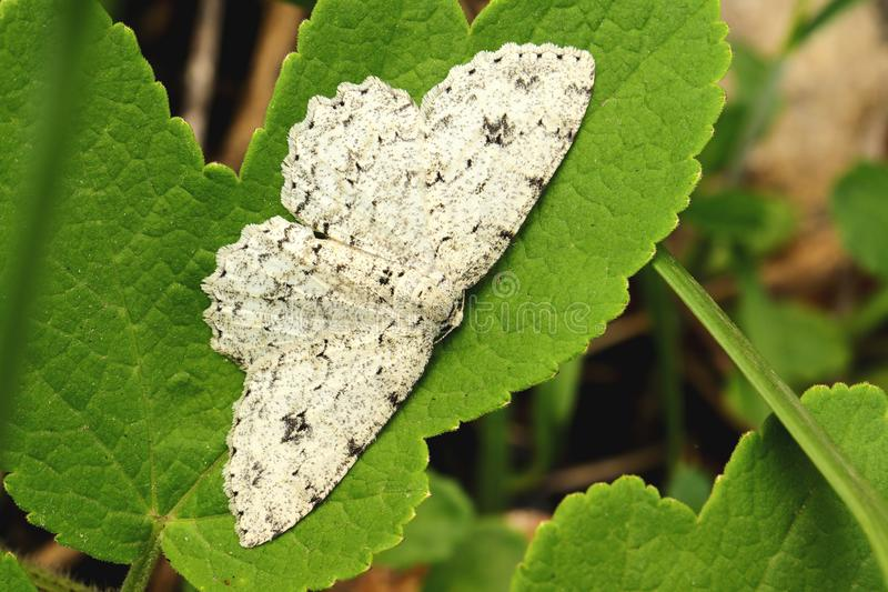 Gray-white butterfly on the green leaf closeup. Gray-white butterfly on the green leaf closeup stock photography