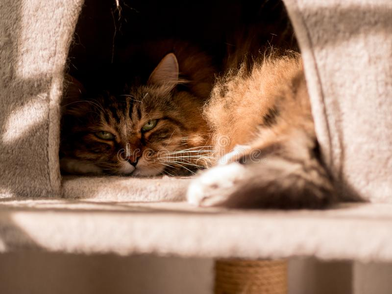 The gray-white cat maine coon is played after lunch. The gray-white cat maine coon is played after  lunch royalty free stock images