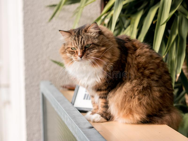 The gray-white cat maine coon is played after lunch. The gray-white cat maine coon is played after  lunch royalty free stock image