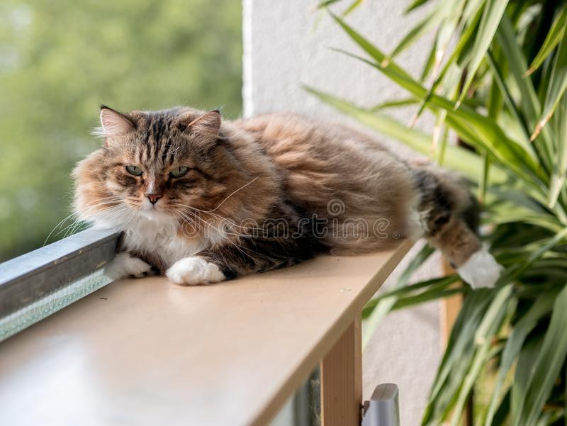 The gray-white cat maine coon is played after lunch. The gray-white cat maine coon is played after  lunch stock image