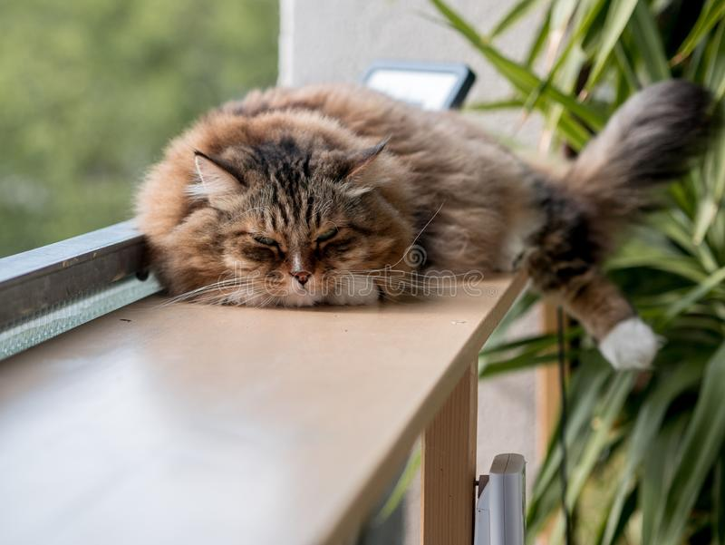 The gray-white cat maine coon is played after lunch. The gray-white cat maine coon is played after  lunch royalty free stock photos