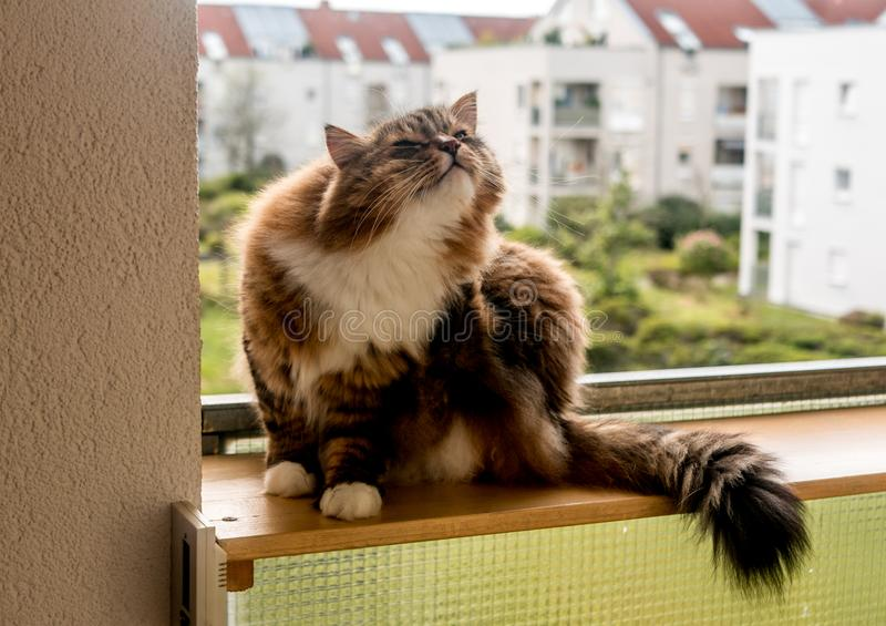 The gray-white cat maine coon is played after lunch. The gray-white cat maine coon is played after  lunch royalty free stock photo