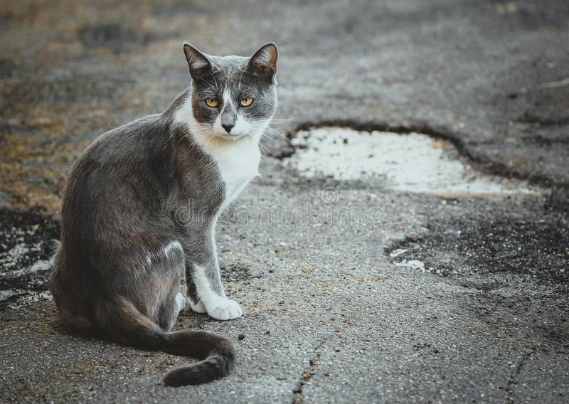 Gray white cat sitting on the pavement. Homeless sad wistful lonely stray cat on the background of the asphalt. Watching stock image