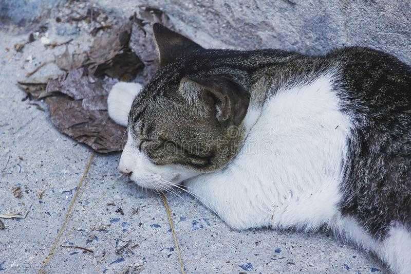 Gray and white cat sleeping on the floor. The gray and white cat is sleeping on the floor stock images