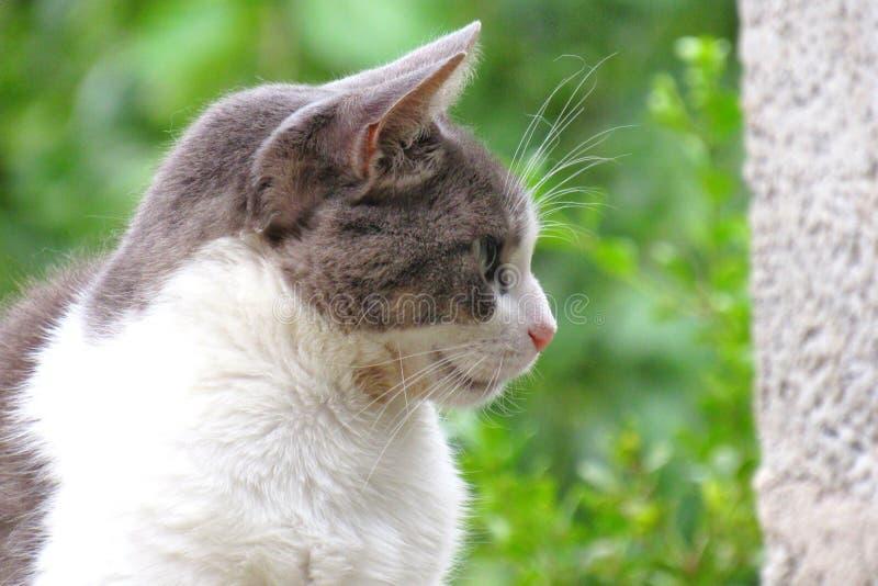 Gray White Cat som ser till rätten arkivfoton