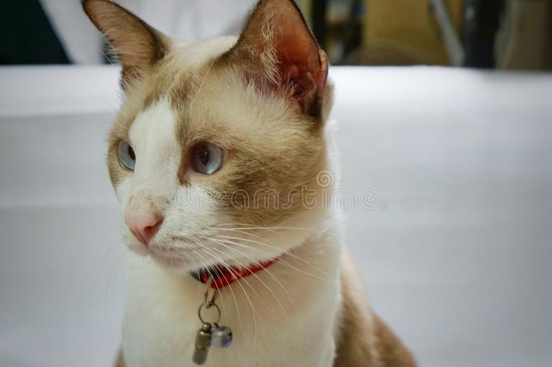 Gray and white cat. stock images