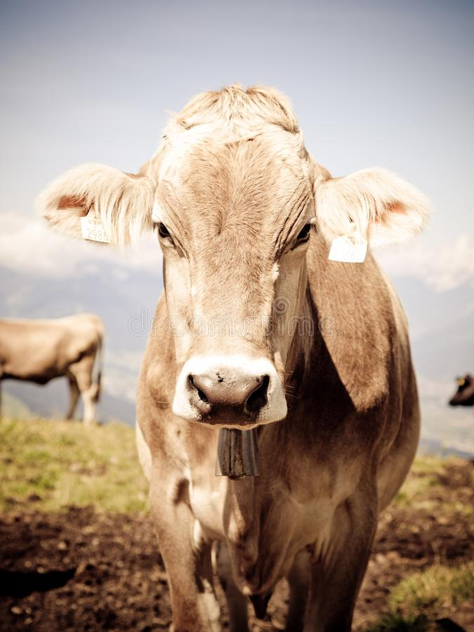 Gray and White Cow during Day Time royalty free stock photography