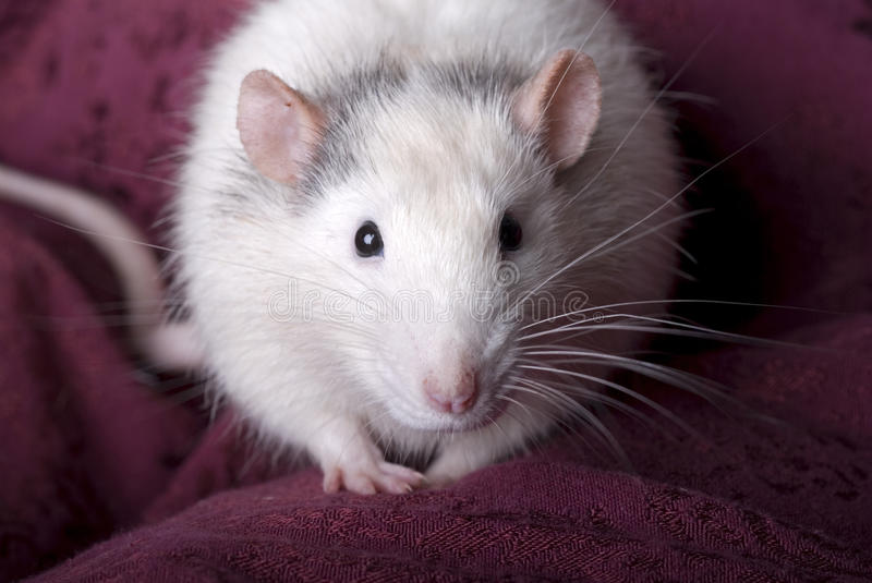 Download Gray And White Domestic Rat On Red Stock Photo - Image: 26797984
