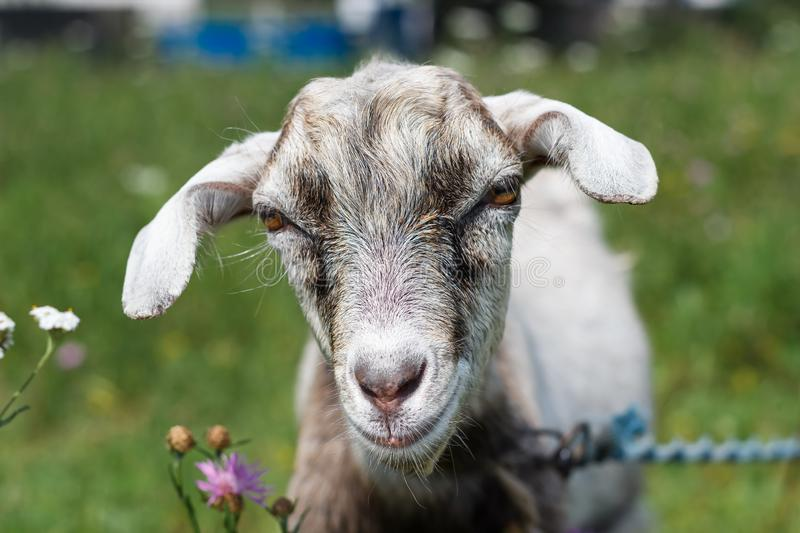 Gray white goat goat grazes in a meadow summer or spring sunny royalty free stock photography