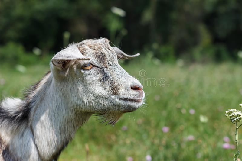 Gray white goat goat grazes in a meadow summer or spring sunny stock image