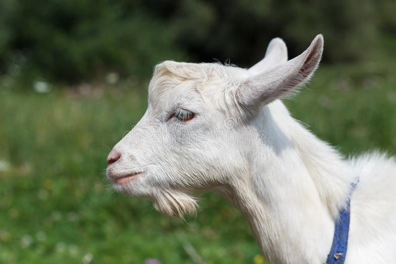 Gray white goat goat grazes in a meadow summer or spring sunny stock photo