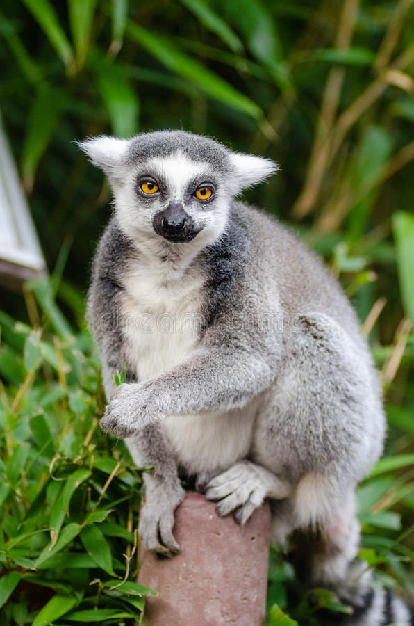 Gray and White Lemur royalty free stock image