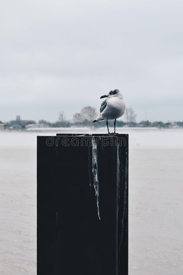 Gray and White Seagull on Top of Board at Daytime royalty free stock images