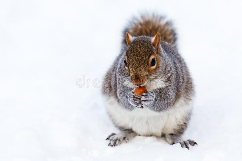 Gray and White Squirrel at Snow Covered Ground royalty free stock images