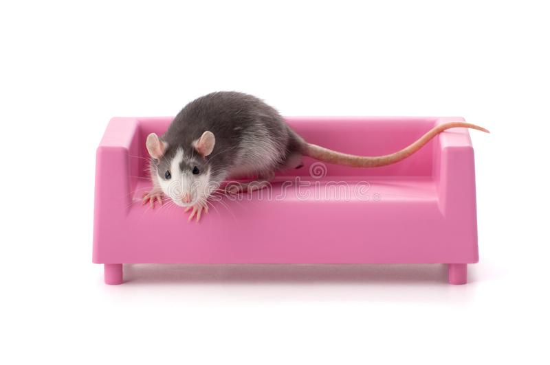 Gray-white young rat sitting on a toy pink sofa. Gray-white young rat sitting on a toy pink sofa on a white background stock photo