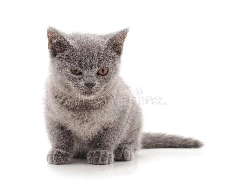 Gray wicked cat. On a white background stock image