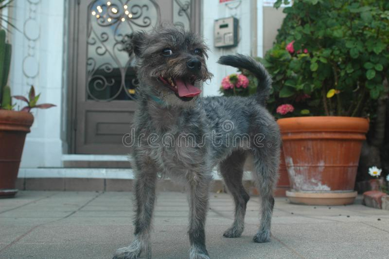 Smiling Gray Wire Haired Schnazer Terrier Mix breed pup royalty free stock image