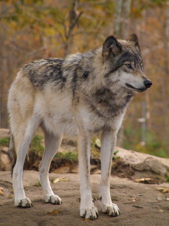 "Gray Wolf †""Canis Lupus royalty-vrije stock afbeeldingen"