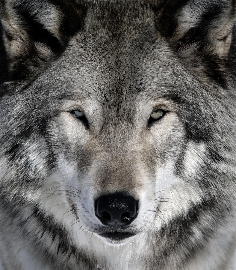 Download Gray Wolf stock photo. Image of protected, wildlife, stare - 10046924