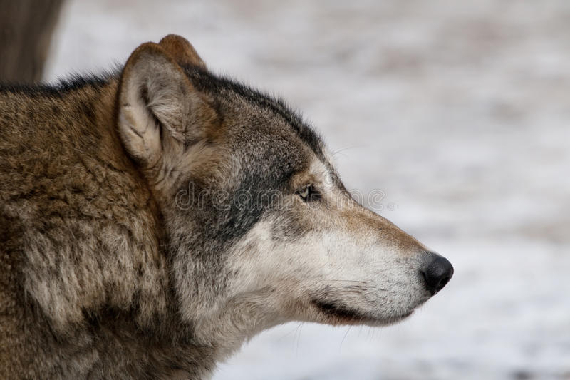 Download Gray wolf. stock image. Image of looks, living, observant - 11347069
