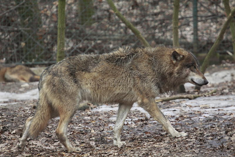 Gray wolf. The gray wolf or grey wolf (Canis lupus), often known simply as the wolf, is the largest wild member of the Canidae family royalty free stock photo