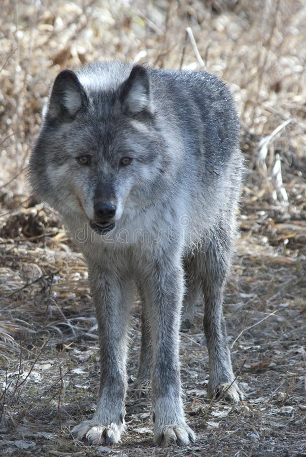 Gray wolf stock images