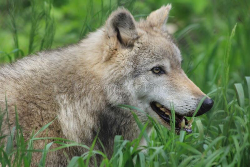 Download Gray Wolf stock photo. Image of snout, wild, face, gray - 14446446