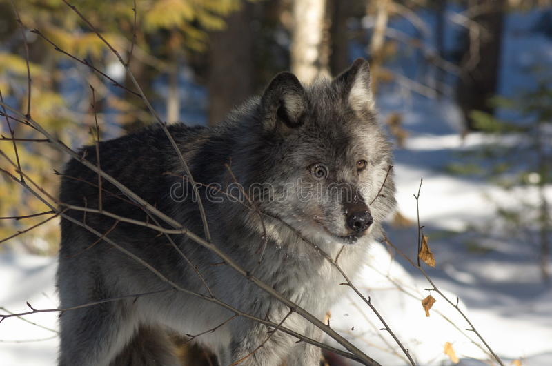 Download Gray Wolf stock image. Image of canada, columbia, gray - 18446675