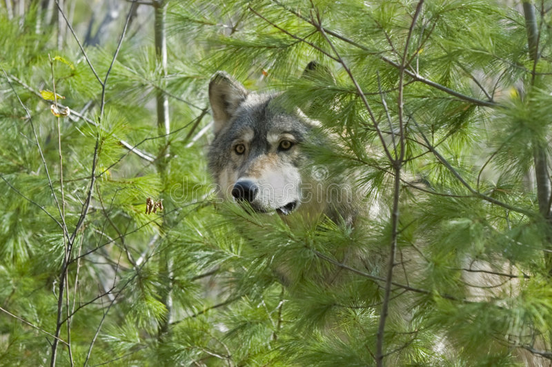 Download Gray wolf stock photo. Image of wildlife, gray, carnivore - 6054584