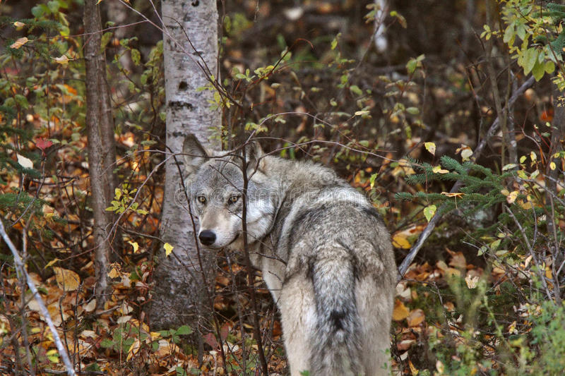 Download Gray Wolf Along Forest Edge Stock Image - Image: 14857983