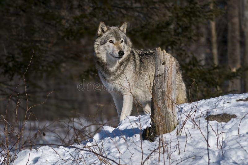 Gray Wolf anseende i snön royaltyfria foton
