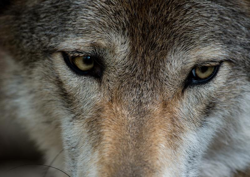 Gray Wolf-Augen lizenzfreies stockfoto