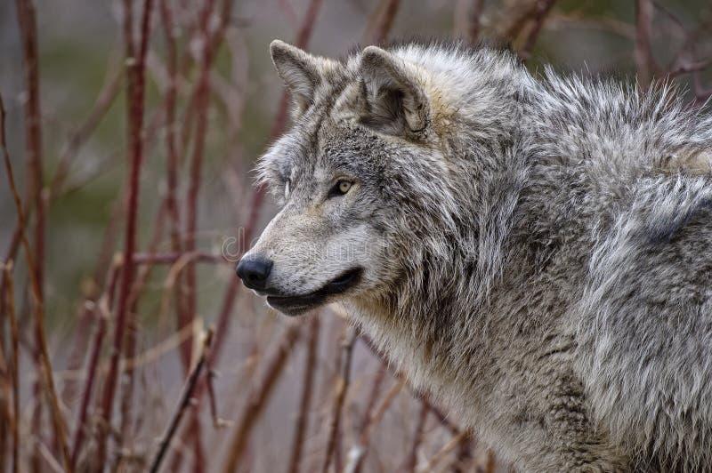 Gray Wolf In Autumn mit roten Sträuchen stockbild