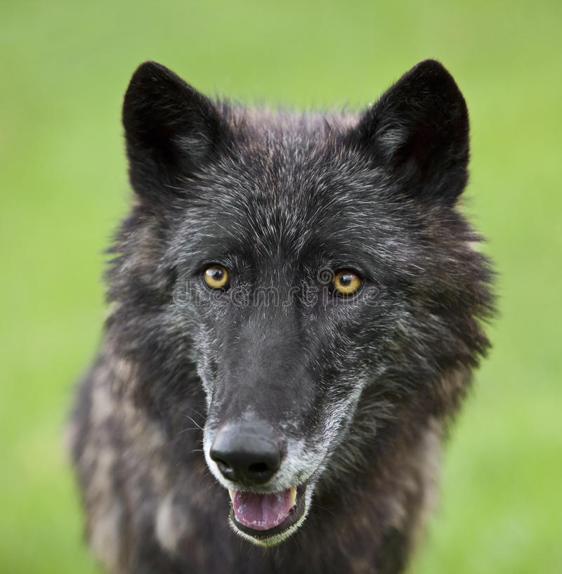 Gray wolf Canis Lupus eyes royalty free stock photos