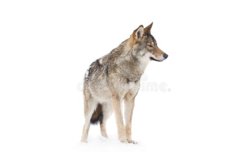 Gray Wolf Canis-Lupus lizenzfreies stockbild