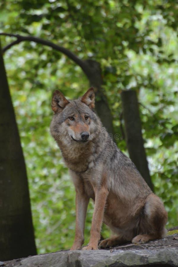 Gray Wolf/Canis Lupus lizenzfreies stockfoto
