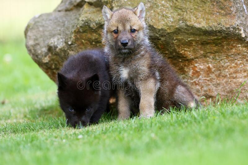 Gray wolf Canis lupus also known as the timber wolf,western wolf or simply wolf. Young wolf puppy in green grass.Two puppies royalty free stock images