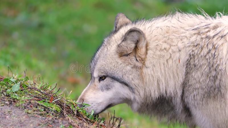 Gray wolf canis lupus hd royalty free stock image
