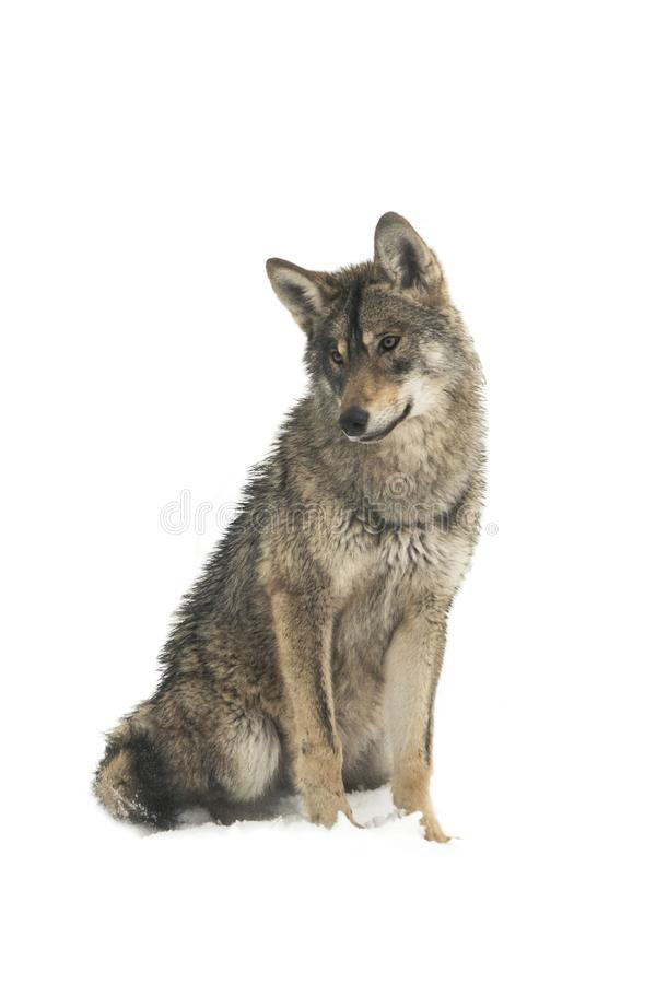 Gray wolf canis lupus isolated on snow. On a white background royalty free stock images