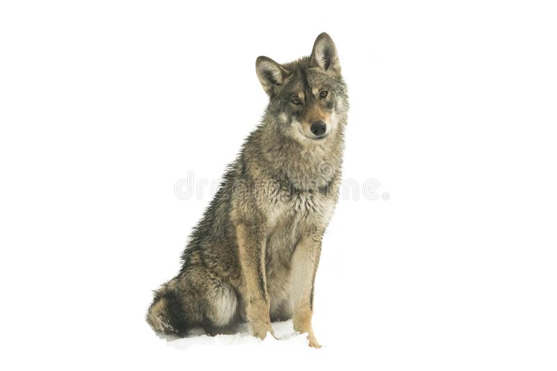Gray wolf canis lupus isolated on snow stock image