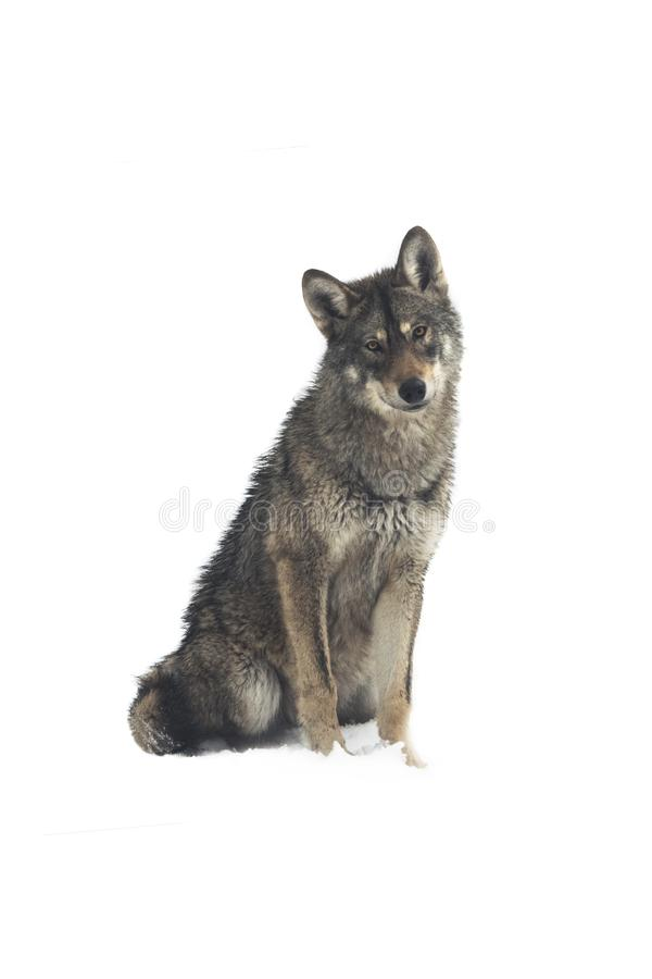 Gray wolf canis lupus stock photography