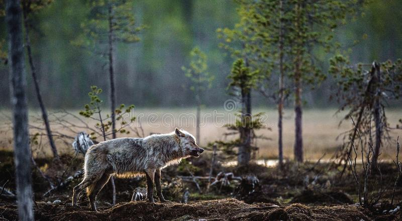 Gray Wolf Canis-wolfszweer stock afbeeldingen