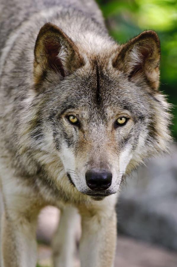 Gray Wolf Close Up Head Shot, der vorwärts schaut stockbilder
