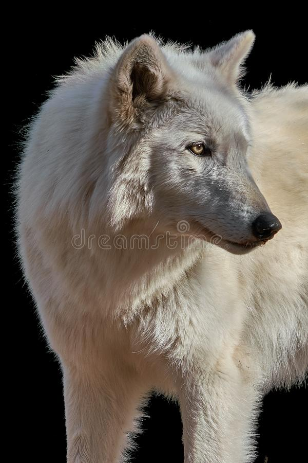 Gray Wolf Closeup stock foto's